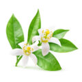 Isolated orange flowers. Blossoming branch of orange tree isolated on white background with clipping path