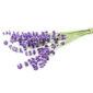 Lavendelbund auf weißem Hintergrund