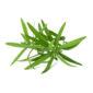 Tarragon (Artemisia dracunculus)  isolated on white background